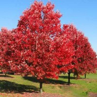 redoaktree100a